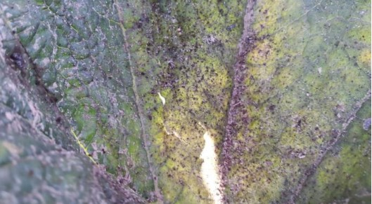 Calabacín - Control de pulgones - Agro Calcipol Triple