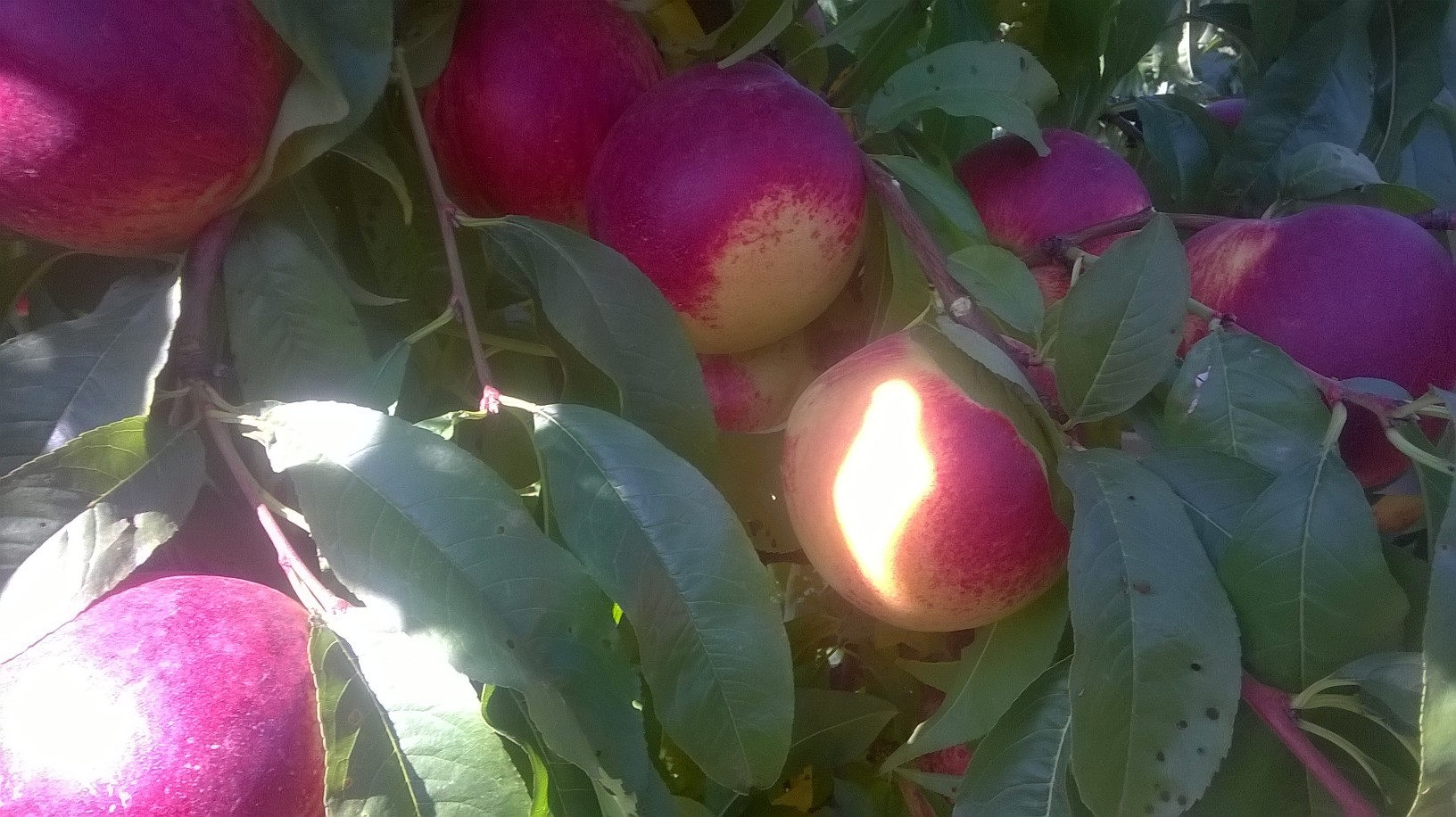 Nectarina altarrec - Reforzar resistencia frente a Oidio y evitar la poda de verano - Agro Omega + Agro Genesis