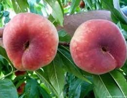 Evitar el rajado de frutos en melocotón chato bamblio 10